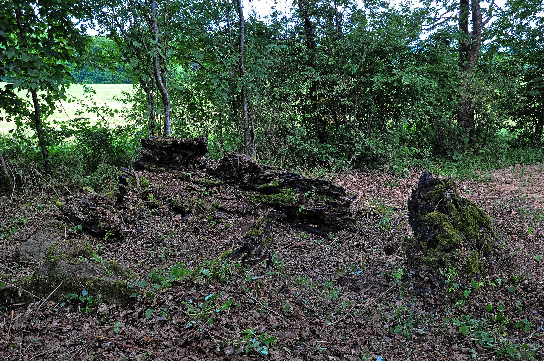 Mückeln Schafbaum